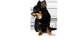 chihuahua-langharig