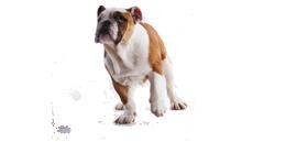 fransk-bulldogg